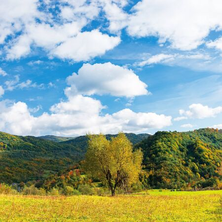 tree in yellow foliage on the meadow. beautiful countryside landscape on a sunny day with fluffy clouds on the sky. carpathian rural area in autumn Stock Photo - 128801156