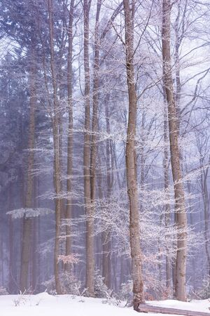 winter forest in fog and hoarfrost. beautiful woodland scenery in the morning. wonderful nature scenry Stock Photo