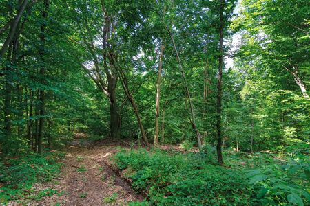 path through primeval beech forest. beautiful summer scenery Stock Photo
