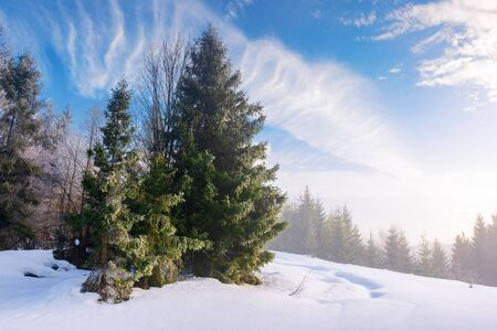 enchanted winter scenery. tall spruce trees  on a snow covered meadow in foggy morning light. beautiful christmas background with copyspace. clouds on the sky Stock Photo