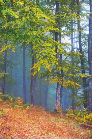 beautiful forest scenery in foggy weather. foliage on trees in amazing fall colors. uncertainty mood concept