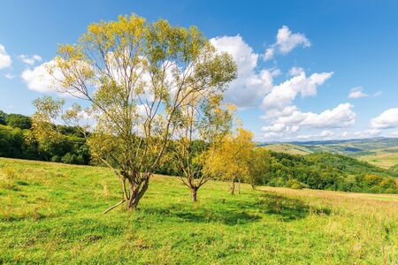 row of trees in yellow foliage on the meadow. beautiful countryside landscape in mountains. fluffy clouds on the blue sky above the distant ridge. wonderful autumnal rural scenery on a sunny day Stock Photo