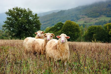 ram and two sheep on the meadow. animals among weathered grass. oak trees in the distance. gloomy autumn weather. early hazy morning in mountainous countryside.
