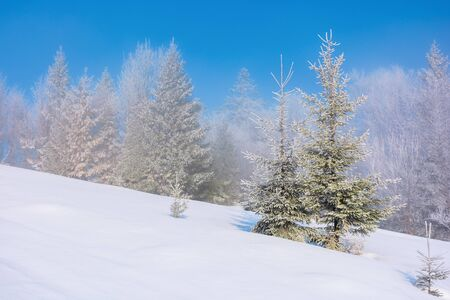 forenoon fairy tail in winter. spruce trees in hoarfrost on the snow covered meadow. forest in the distance beneath a clear blue sky. magic moment of the white season