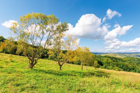 row of trees in yellow foliage on the meadow. beautiful rural landscape in mountains. fluffy clouds on the blue sky above the distant ridge. wonderful autumnal countryside scenery on a sunny day