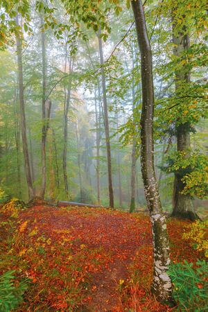 autumnal beech forest background. wet foliage in fall colors. mysterious weather condition on a foggy morning. red carpet of leaves on the glade