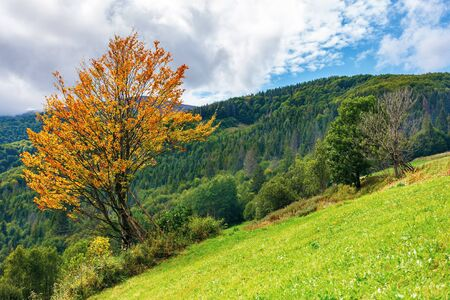 tree in orange foliage on the slope.  beautiful countryside landscape in mountains. cloudy autumn weather Stock Photo