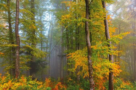 autumnal beech forest background. wet foliage in fall colors. mysterious weather condition on a foggy morning. beautiful nature scenery Stock Photo