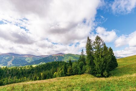 spruce forest on the grassy hill in mountains. borzhava mountain ridge in the distance beneath a cloudy sky. wonderful september weather in carpathians