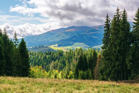 coniferous forest on the grassy hill in mountains. borzhava mountain ridge in the distance beneath a cloudy sky. wonderful early autumn weather in carpathians