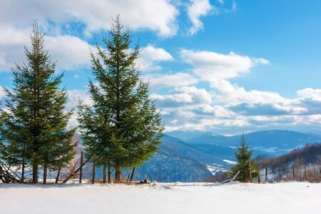 two three fir trees on the snowy meadow in wintertime. beautiful alpine scenery on a sunny day in mountains. wonderful weather with fluffy clouds on a blue sky 写真素材