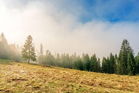 fantastic foggy weather in autumn. low cloud above the forest on the hillside. spruce tree on the grassy glade. magical moment in the morning. wonderful nature scenery
