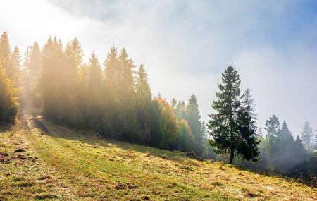 fantastic foggy weather in autumn. low cloud above the forest on the hillside. spruce tree on the grassy glade. magical moment in the morning. wonderful nature scenery. path uphill in to the woods Stock Photo
