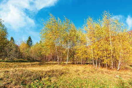birch forest in mountains. sunny autumn scenery. trees in yellow foliage. blue sky with clouds Stock Photo