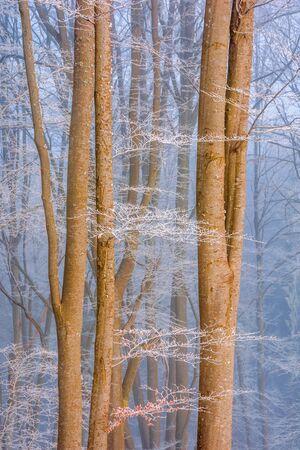 beech forest in wintertime. calm misty morning scenery. trees in hoarfrost.
