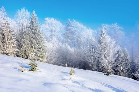 winter hazy morning. forest on snow covered meadow. trees in hoarfrost. wonderful sunny morning countryside