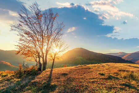 group of trees in sunlight on the edge of a hill. beautiful autumn scenery in mountains at sunset. meadow in weathered grass. clouds on the sky