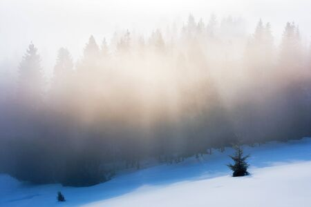 misty morning in the winter. spruce forest on a snow covered slope in glowing fog. beautiful nature background at sunrise Stock Photo