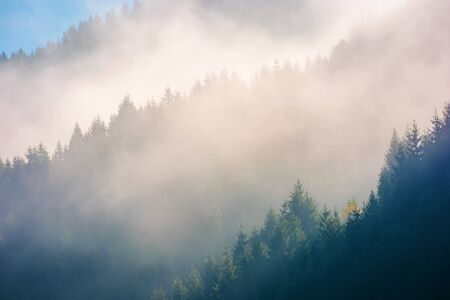 spruce trees in morning light on a hill side. Coniferous forest on foggy sunrise in Carpathian Mountains