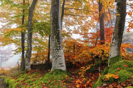 beech trees in colorful foliage. wonderful nature background. hazy atmosphere Stock Photo
