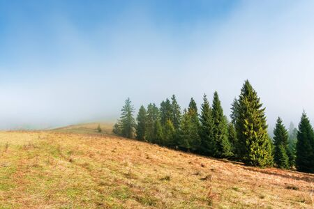 spruce trees on the grassy hillside on foggy morning. breathtaking autumn scenery. magical nature background