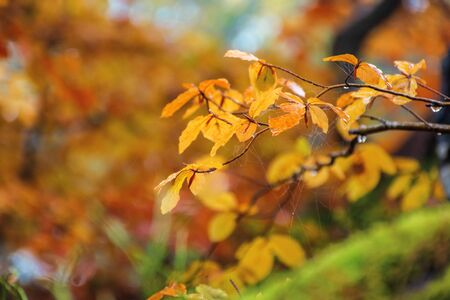 yellow leaf with dew drops on the twig in autumn forest. beautiful autumnal blurry background Stock Photo