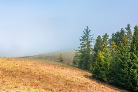 spruce trees on the grassy hillside on foggy morning. magical autumn view. beautiful nature background Stock Photo
