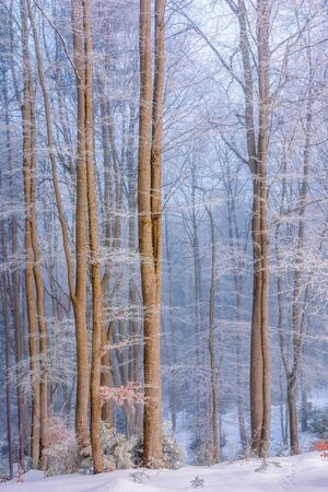 forest in hoarfrost. beautiful winter background in the morning. magical misty weather
