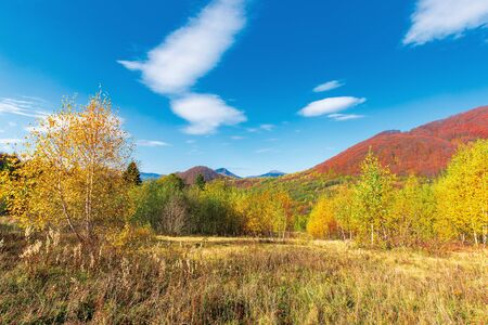 beautiful landscape in fall season. birch trees in golden foliage. mountain in autumn colors. two peaks in the distance. sunny weather with fluffy clouds on the blue sky