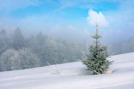 small coniferous tree on a snow covered meadow. magic winter scenery in misty weather conditions. distant forest in haze Stock Photo
