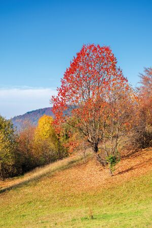 sunny forenoon in mountainous rural area. wonderful countryside autumn landscape. trees in fall foliage on the grassy slope Stock Photo