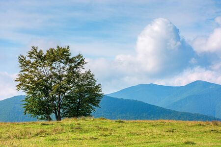 trees on the edge of grassy meadow in mountains. beautiful sunny morning with clouds above the distant ridge. early autumn in green and blue Stock Photo