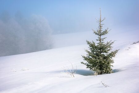 little spruce tree on a snow covered meadow. mysterious winter scenery in misty weather conditions. distant forest in haze