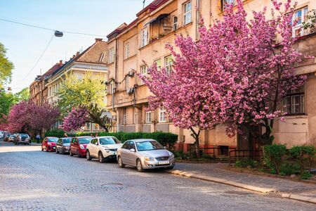 Uzhgorod, Ukraine - 19 APR, 2019: streets of uzhgorod in sakura blossom. beautiful scenery in evening light. cars parked on the paved roadside under the trees in purple bloom. popular selfie location Editorial