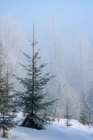 winter forest scenery in misty weather. spruce tree on the snow covered meadow. magical morning light