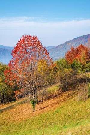tree in red foliage on the grassy slope. wonderful nature scenery in mountains on a sunny day