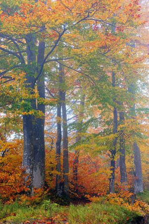 beech trees in colorful foliage. mysterious weather condition on a foggy morning. beautiful nature scenery