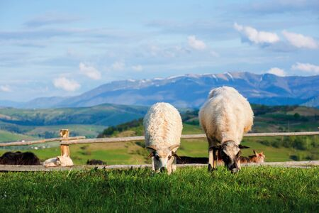 two fluffy goats grazing  fresh grass on a mountain meadow in front of the fence. distant ridge with snow capped tops beneath a blue sky with clouds. wonderful rural scenery on a sunny springtime day
