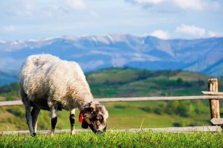 fluffy goat grazing  fresh green grass on a mountain meadow in front of the fence. distant ridge with snow capped tops beneath a blue sky with clouds. wonderful rural scenery in springtime Stock Photo