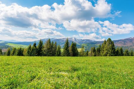 spruce forest on the grassy meadow with tiny flowers in mountains. great transcarpathian springtime nature scenery on a sunny day. borzhava ridge with snow capped top in the distance. blue sky with fleecy clouds. Stock Photo