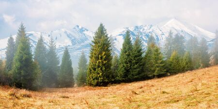 fir trees on the grassy hillside on foggy morning. snow capped high tatras ridge in the distance. wonderful autumn scenery. mysterious nature background