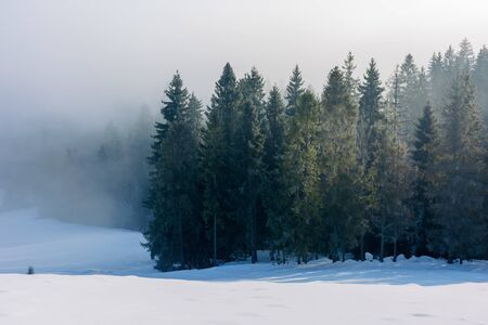 spruce forest in mist and hoarfrost. beautiful nature winter scenery