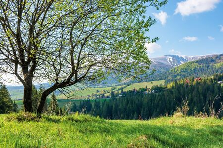 tree on the grassy meadow in mountains. wonderful warm sunny day. great springtime scenery. village on the distant hill. ridge with snow capped top. blue sky with fleecy clouds
