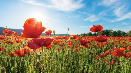 poppy field on a sunny afternoon. beautiful rural scenery with red flowers in mountains. bright blue sky with fluffy clouds. summer countryside outdoors happy days memories concept Stock Photo - 133525475