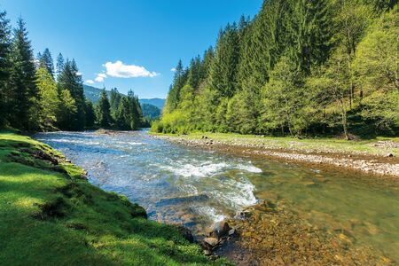 rapid mountain river in spruce forest. wonderful sunny morning in springtime. grassy river bank and rocks on the shore. waves above boulders in the water. beautiful nature scenery Stock Photo
