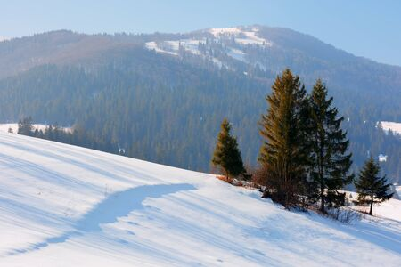 winter fairy tale in carpathian mountains. amazing scenery of borzhava ridge. spruce forest on hills. sunny weather with a bit of haze in the air Stock Photo