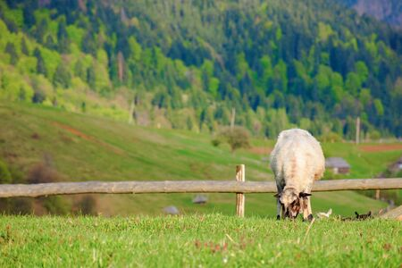 fluffy goat grazing on a mountain meadow. 