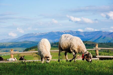 two fluffy goats grazing  fresh grass on a mountain meadow in front of the fence. distant ridge with snow capped tops beneath a blue sky with clouds. wonderful rural landscape in springtime