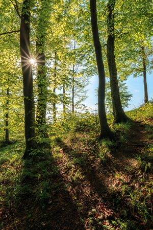 beech forest at sunrise in sunny weather. nature scenery in morning light. tall trees in green foliage. magic atmosphere of springtime. relaxing walk through woods Stock Photo