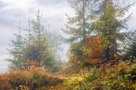 forest scenery on a hazy autumn day. srubs near spruce trees in colorful foliage. mysterious atmosphere.